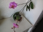 phalaenopsis-keiki-fiore-02