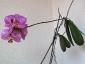 phalaenopsis-keiki-fiore-03