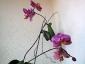 phalaenopsis-keiki-fiore-05