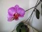 phalaenopsis-keiki-fiore-06