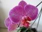 phalaenopsis-keiki-fiore-07