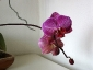 phalaenopsis-keiki-fiore-08