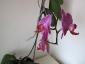 phalaenopsis-keiki-fiore-09