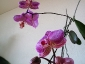 phalaenopsis-keiki-fiore-10