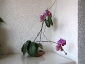 phalaenopsis-keiki-fiore-12