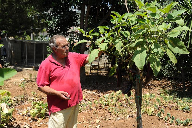Albero delle melanzane riuscir mai ad avere piante cos for Melanzane innestate