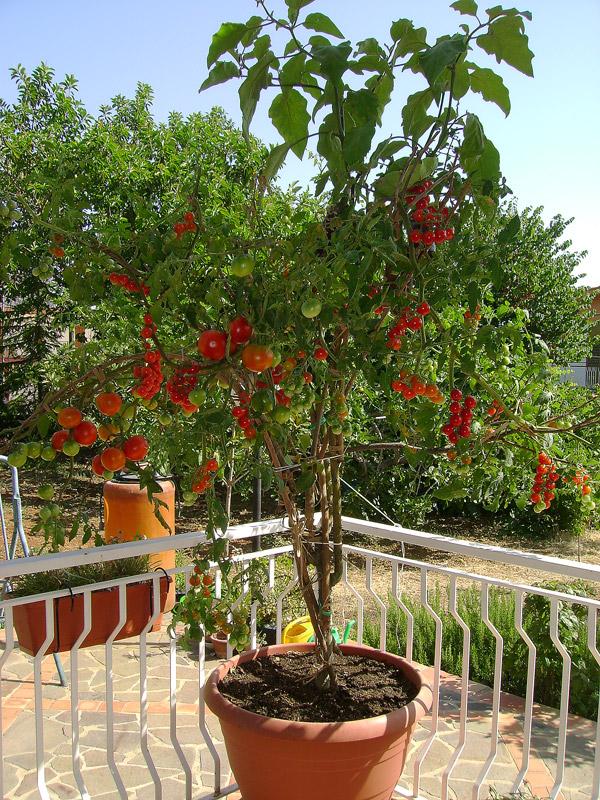 albero delle melanzane riuscir mai ad avere piante cos