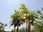 albero-melanzane-01