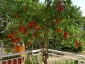 albero-pomodori-06