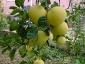 pomelo-Citrus-maxima-01