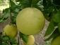 pomelo-Citrus-maxima-03