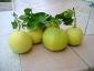 pomelo-Citrus-maxima-04