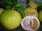 pomelo-Citrus-maxima-06