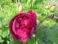 Rosa antica 1
