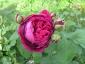 Rosa antica 3