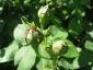 Rosa antica 4