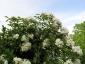 Rosa Banksiae Alba Plena rampicante