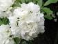 Rosa Banksiae Alba Plena particolare fiore
