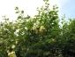 Rosa Banksiae Lutea rami