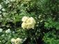 Rosa Banksiae Lutea fiori
