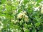 Rosa Banksiae Lutea mazzetti