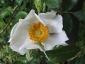 Rosa Bracteata il fiore