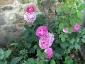 Rosa di Maggio