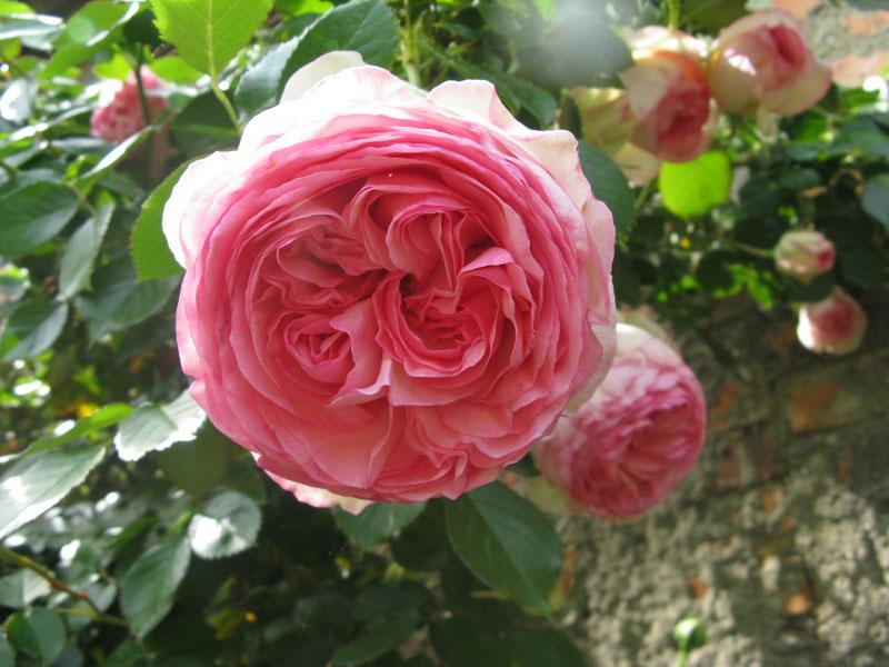 """rosa Pierre de Ronsard conosciuta anche come Eden Rose 88, nome commerciale """"MEIviolin"""" creata da Meilland nel 1987 in Francia. dans FIORI: LE ROSE a-rosa-moderna-01"""
