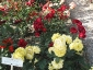 Florablog-Roseto-Botanico-Carla-Fineschi-01.jpg