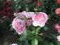 Florablog-Roseto-Botanico-Carla-Fineschi-02.jpg