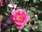 Florablog-Roseto-Botanico-Carla-Fineschi-09.jpg