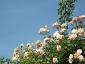 Florablog-Roseto-Botanico-Carla-Fineschi-11.jpg