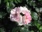Florablog-Roseto-Botanico-Carla-Fineschi-12.jpg