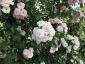 Florablog-Roseto-Botanico-Carla-Fineschi-14.jpg