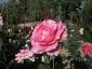 Florablog-Roseto-Botanico-Carla-Fineschi-15.jpg