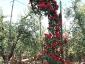 Florablog-Roseto-Botanico-Carla-Fineschi-20.jpg