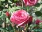 Florablog-Roseto-Botanico-Carla-Fineschi-23.jpg