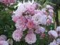 Florablog-Roseto-Botanico-Carla-Fineschi-25.jpg