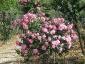 Florablog-Roseto-Botanico-Carla-Fineschi-30.jpg