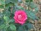Florablog-Roseto-Botanico-Carla-Fineschi-42.jpg