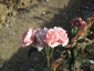 Florablog-Roseto-Botanico-Carla-Fineschi-43.jpg