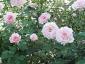Florablog-Roseto-Botanico-Carla-Fineschi-48.jpg