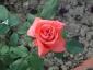 Florablog-Roseto-Botanico-Carla-Fineschi-49.jpg