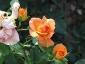 Florablog-Roseto-Botanico-Carla-Fineschi-50.jpg