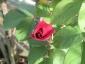 Florablog-Roseto-Botanico-Carla-Fineschi-55.jpg