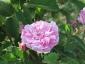 Florablog-Roseto-Botanico-Carla-Fineschi-57.jpg