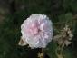 Florablog-Roseto-Botanico-Carla-Fineschi-58.jpg