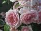 Florablog-Roseto-Botanico-Carla-Fineschi-59.jpg
