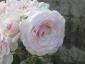 Florablog-Roseto-Botanico-Carla-Fineschi-61.jpg