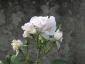 Florablog-Roseto-Botanico-Carla-Fineschi-62.jpg